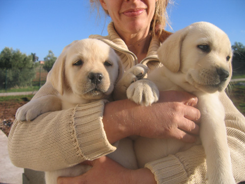 Labrador Retriever Puppies For Sale In Southern Oregon | Dog Breeds ...